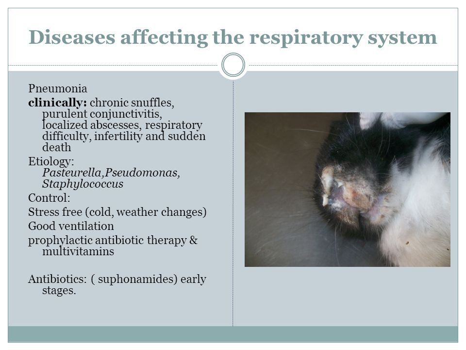 Diseases affecting the respiratory system Pneumonia clinically: chronic snuffles, purulent conjunctivitis, localized abscesses, respiratory difficulty, infertility and sudden death Etiology: Pasteurella,Pseudomonas, Staphylococcus Control: Stress free (cold, weather changes) Good ventilation prophylactic antibiotic therapy & multivitamins Antibiotics: ( suphonamides) early stages.