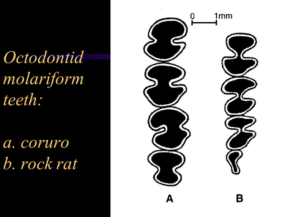 Octodontid molariform teeth: a. coruro b. rock rat