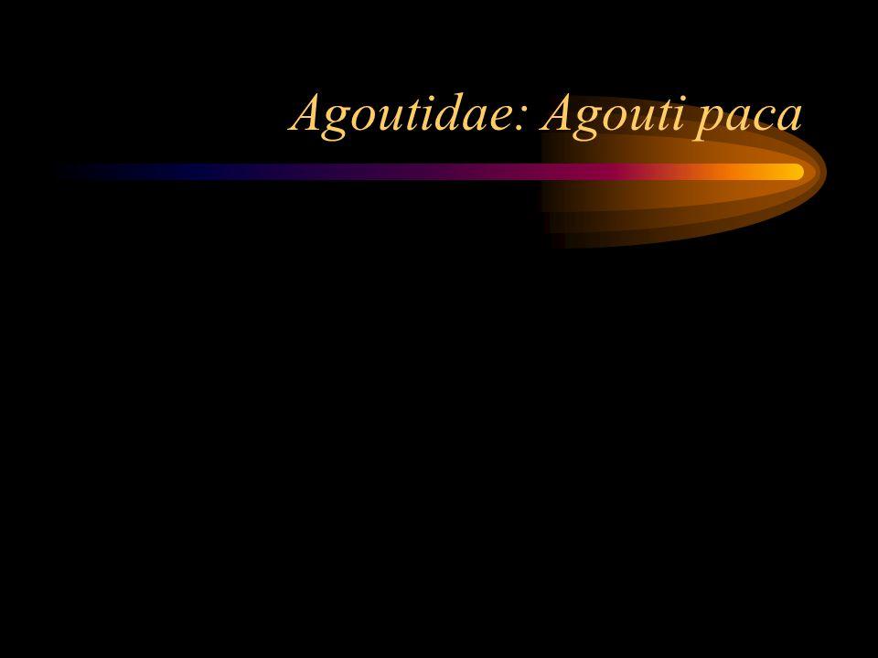 Agoutidae: Agouti paca