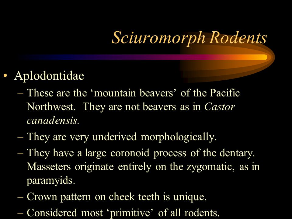 Sciuromorph Rodents Aplodontidae –These are the 'mountain beavers' of the Pacific Northwest.