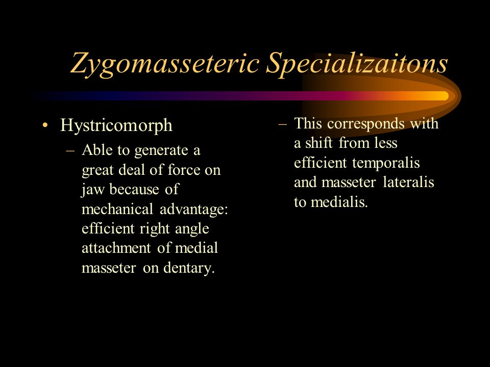 Zygomasseteric Specializaitons Hystricomorph –Able to generate a great deal of force on jaw because of mechanical advantage: efficient right angle attachment of medial masseter on dentary.