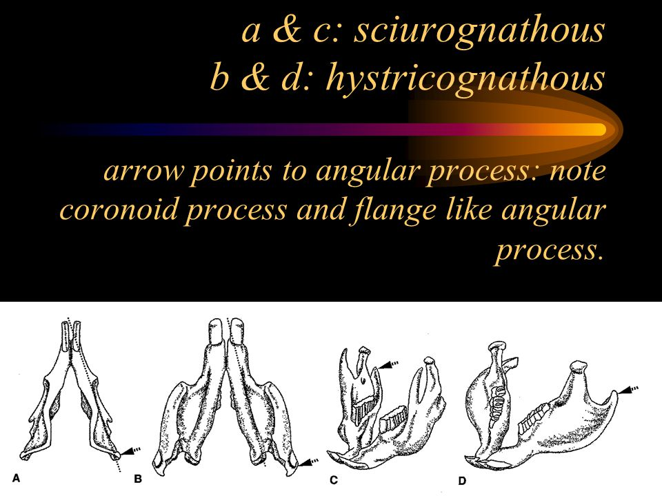 a & c: sciurognathous b & d: hystricognathous arrow points to angular process: note coronoid process and flange like angular process.