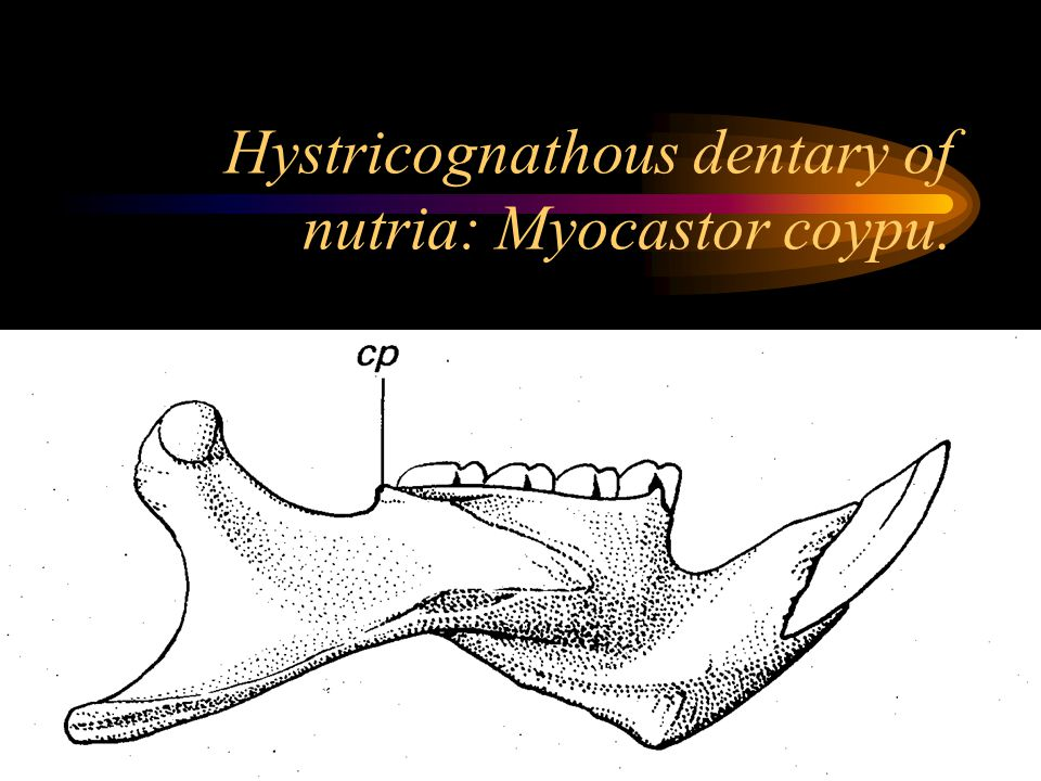 Hystricognathous dentary of nutria: Myocastor coypu.