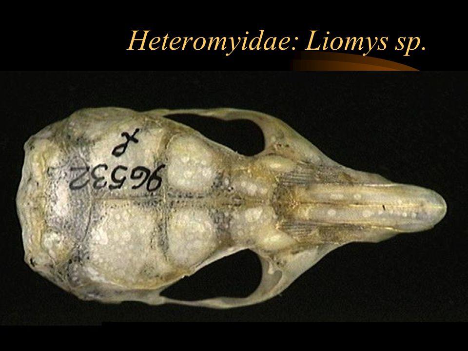 Heteromyidae: Liomys sp.