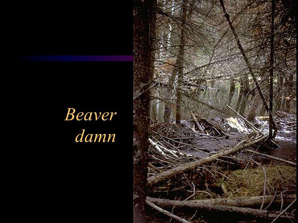 Beaver damn