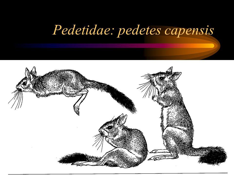 Pedetidae: pedetes capensis