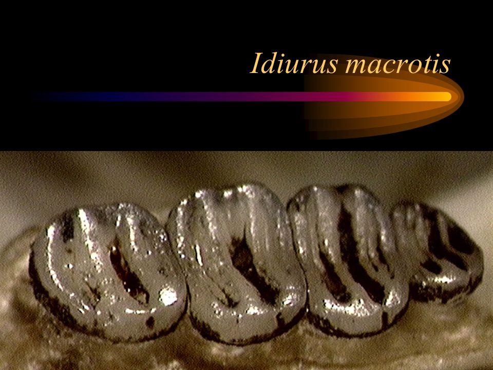 Idiurus macrotis