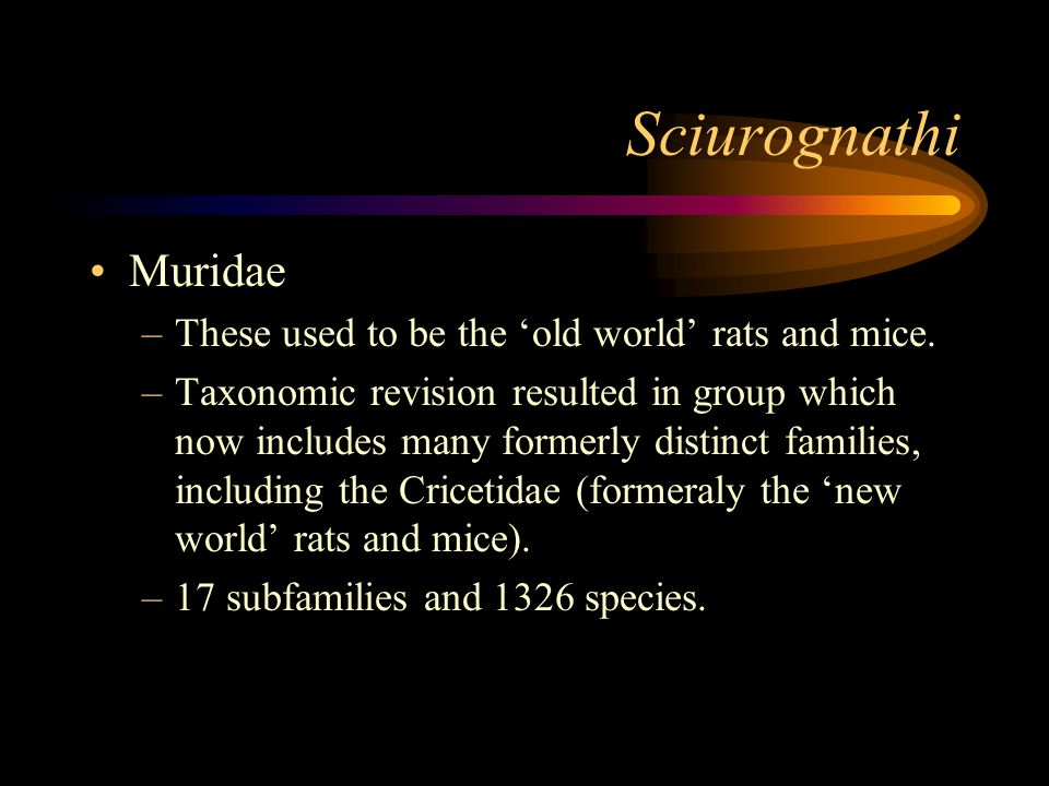 Sciurognathi Muridae –These used to be the 'old world' rats and mice.