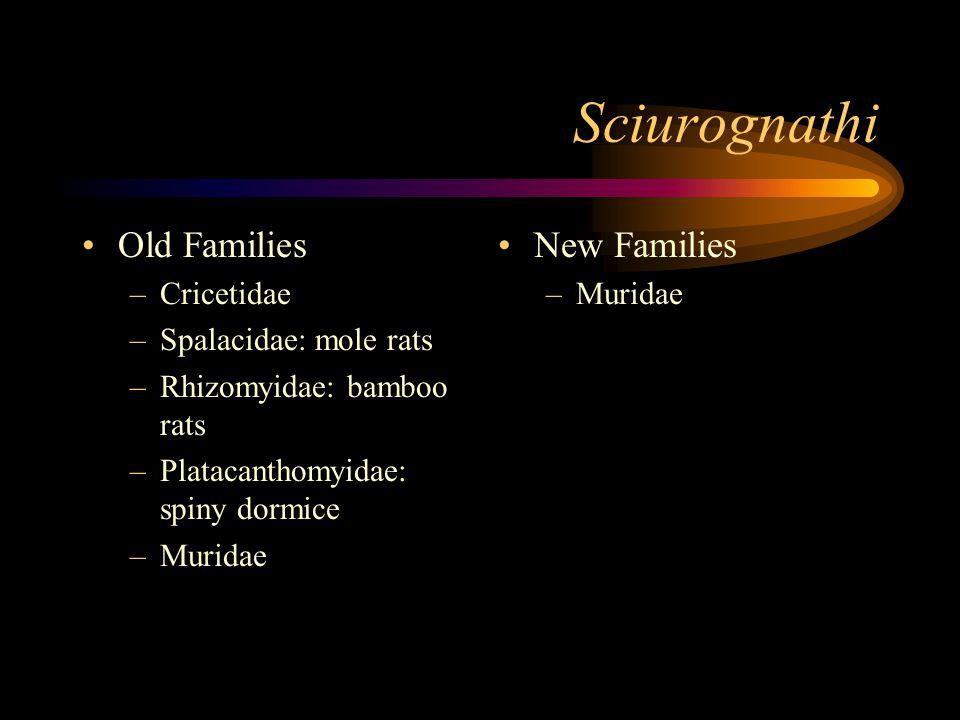 Sciurognathi Old Families –Cricetidae –Spalacidae: mole rats –Rhizomyidae: bamboo rats –Platacanthomyidae: spiny dormice –Muridae New Families –Muridae