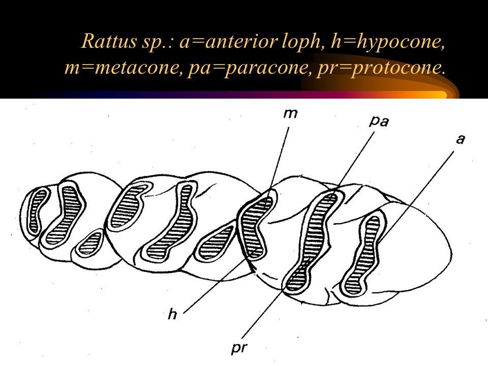 Rattus sp.: a=anterior loph, h=hypocone, m=metacone, pa=paracone, pr=protocone.