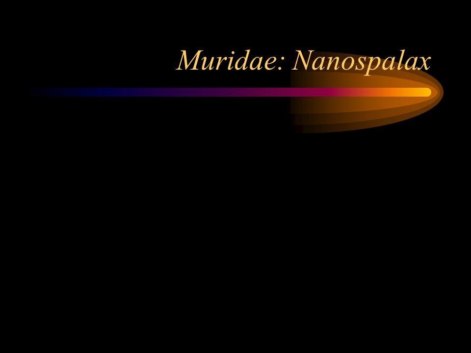 Muridae: Nanospalax