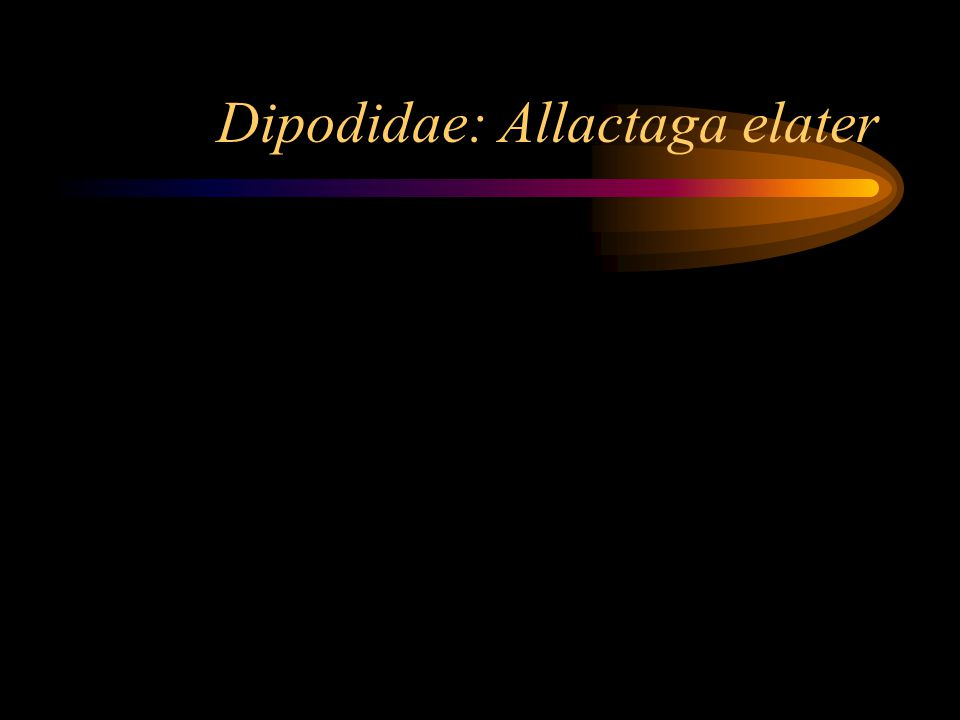 Dipodidae: Allactaga elater
