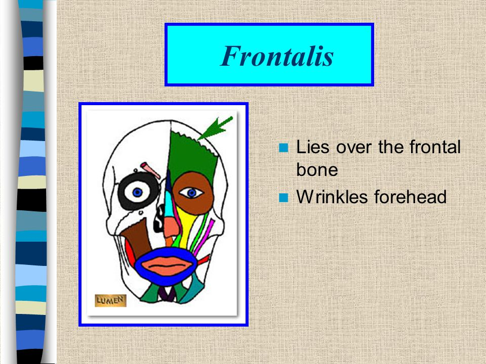 Frontalis Lies over the frontal bone Wrinkles forehead