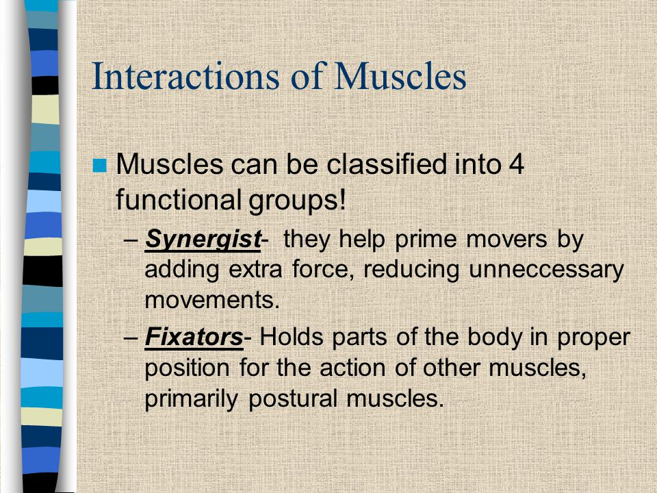 Interactions of Muscles Muscles can be classified into 4 functional groups.
