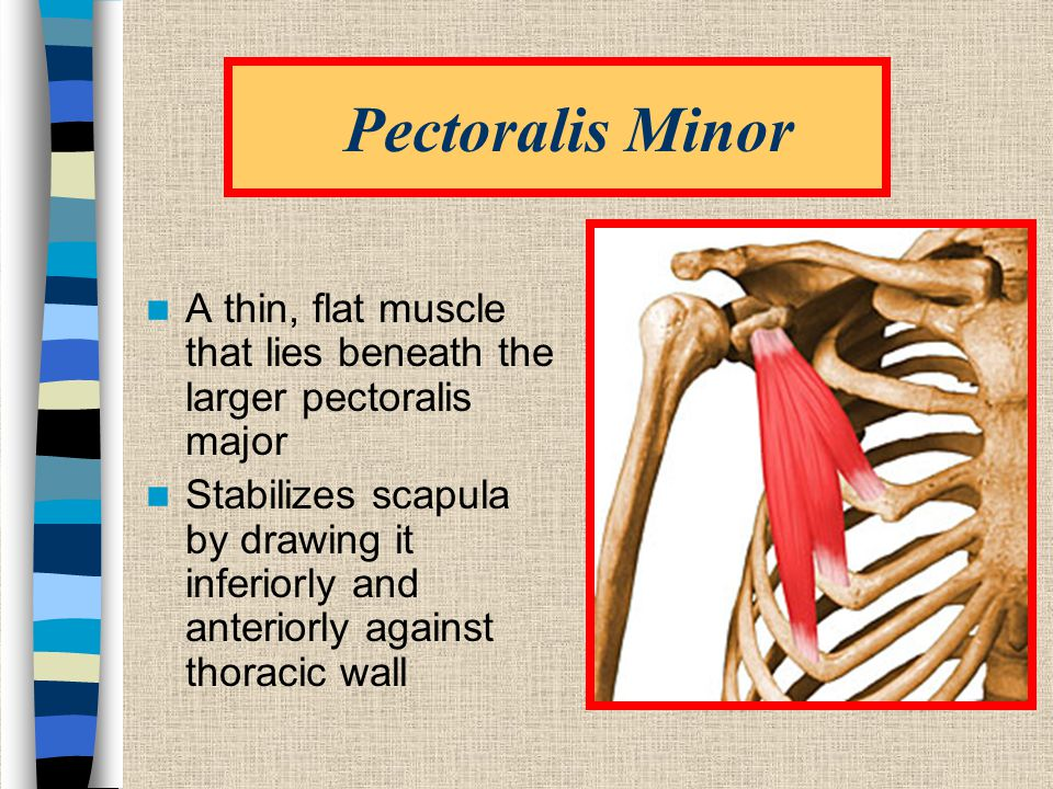Pectoralis Minor A thin, flat muscle that lies beneath the larger pectoralis major Stabilizes scapula by drawing it inferiorly and anteriorly against thoracic wall