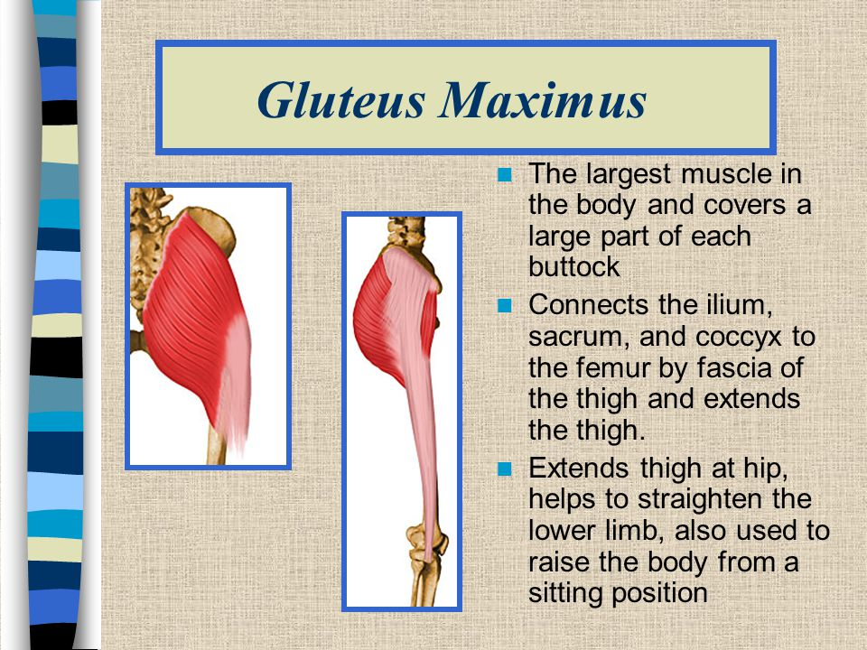 Gluteus Maximus The largest muscle in the body and covers a large part of each buttock Connects the ilium, sacrum, and coccyx to the femur by fascia of the thigh and extends the thigh.