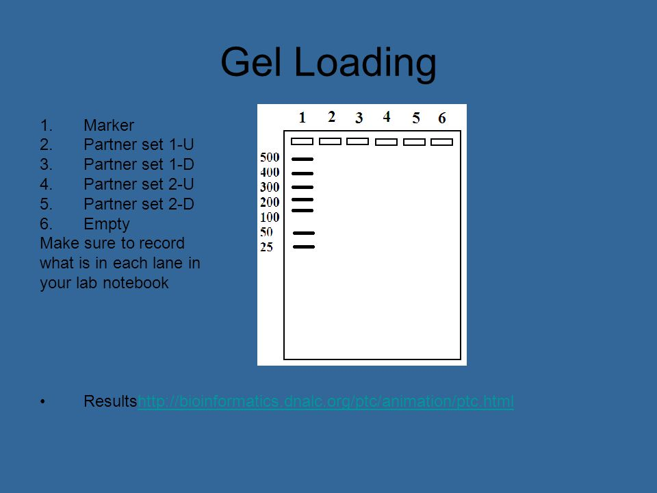 Gel Loading 1.Marker 2.Partner set 1-U 3.Partner set 1-D 4.Partner set 2-U 5.Partner set 2-D 6.Empty Make sure to record what is in each lane in your lab notebook Resultshttp://bioinformatics.dnalc.org/ptc/animation/ptc.htmlhttp://bioinformatics.dnalc.org/ptc/animation/ptc.html
