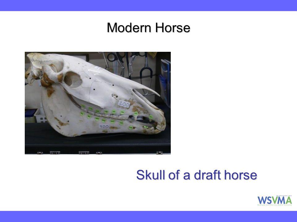 Modern Horse Skull of a draft horse