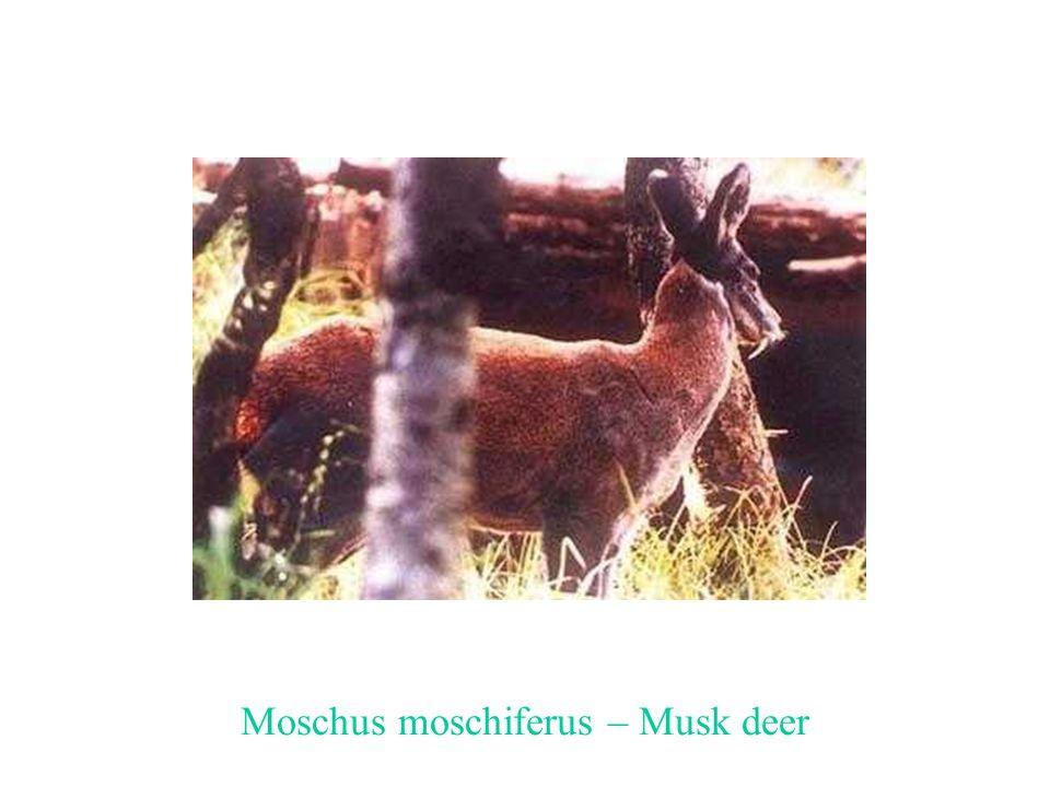 Moschus moschiferus – Musk deer