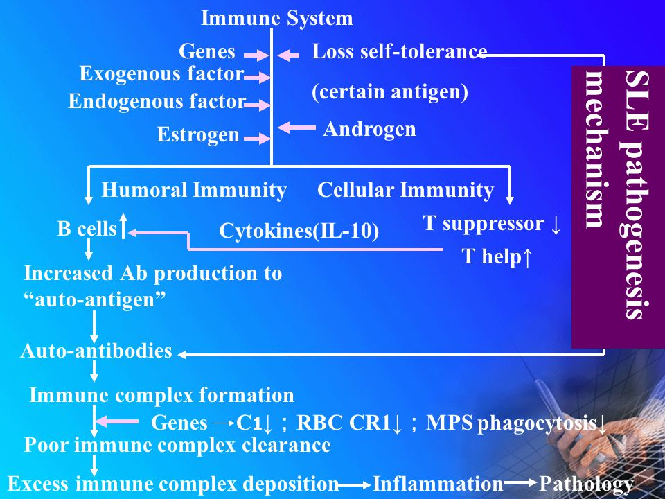 Immune System Genes Exogenous factor Endogenous factor Estrogen Loss self-tolerance (certain antigen) Androgen B cells T suppressor ↓ T help↑ Cytokines(IL-10) Increased Ab production to auto-antigen Auto-antibodies Immune complex formation Poor immune complex clearance Excess immune complex depositionInflammationPathology SLE pathogenesismechanism Humoral ImmunityCellular Immunity Genes C 1 ↓ ; RBC CR1↓ ; MPS phagocytosis↓