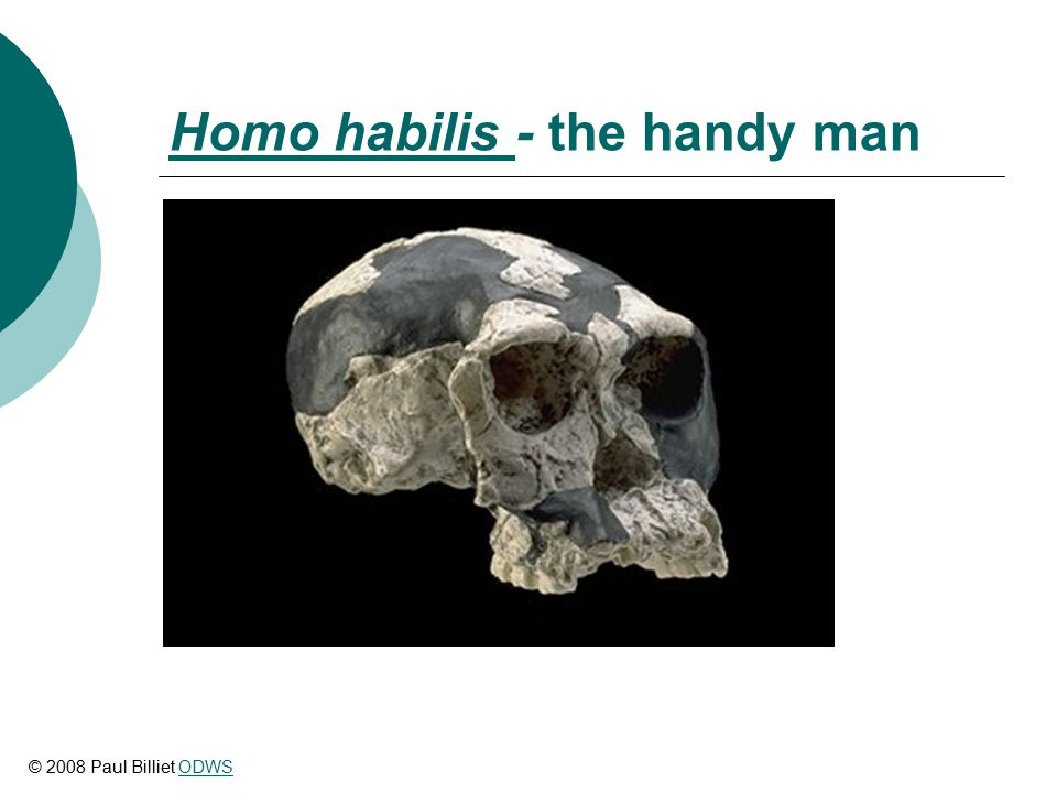Homo habilis Homo habilis - the handy man © 2008 Paul Billiet ODWSODWS