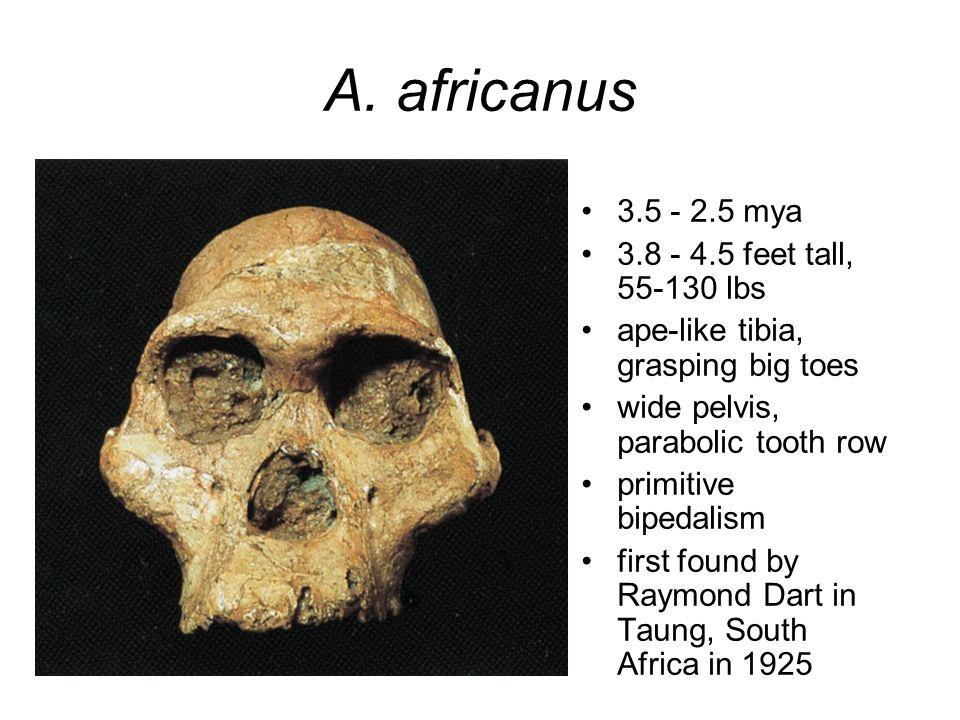 A. africanus 3.5 - 2.5 mya 3.8 - 4.5 feet tall, 55-130 lbs ape-like tibia, grasping big toes wide pelvis, parabolic tooth row primitive bipedalism fir