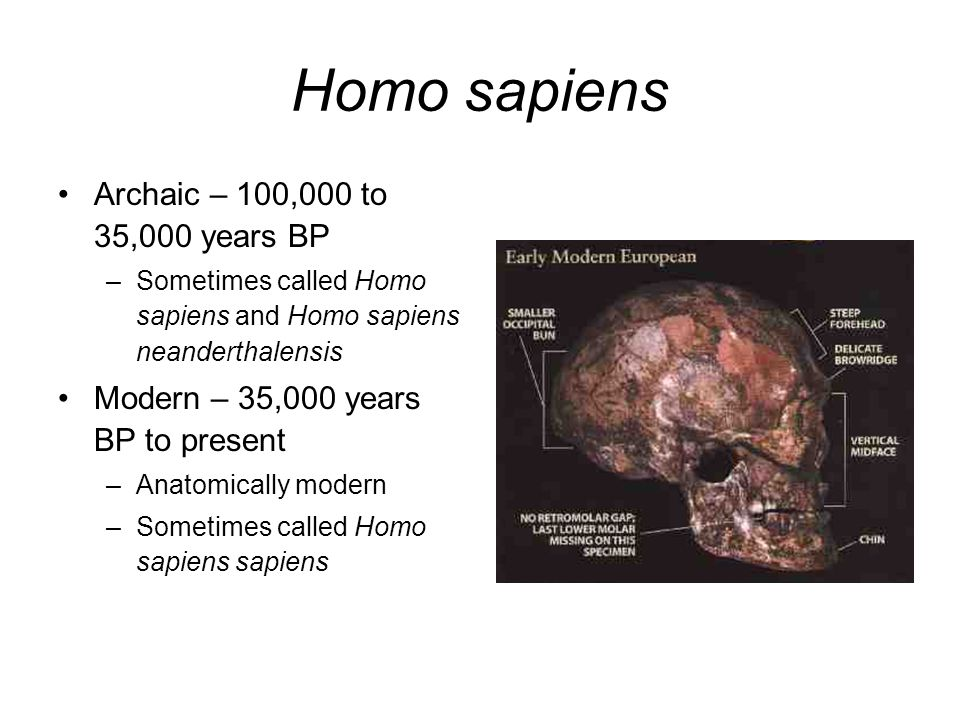 Homo sapiens Archaic – 100,000 to 35,000 years BP –Sometimes called Homo sapiens and Homo sapiens neanderthalensis Modern – 35,000 years BP to present –Anatomically modern –Sometimes called Homo sapiens sapiens