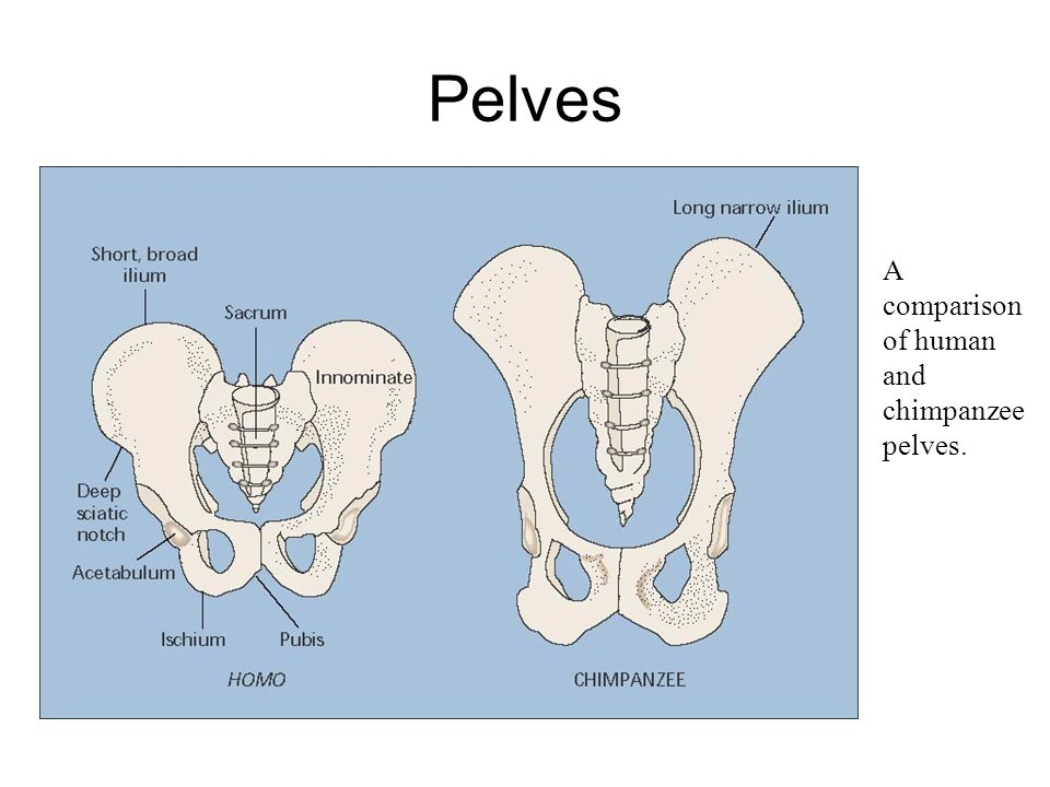 Pelves A comparison of human and chimpanzee pelves.