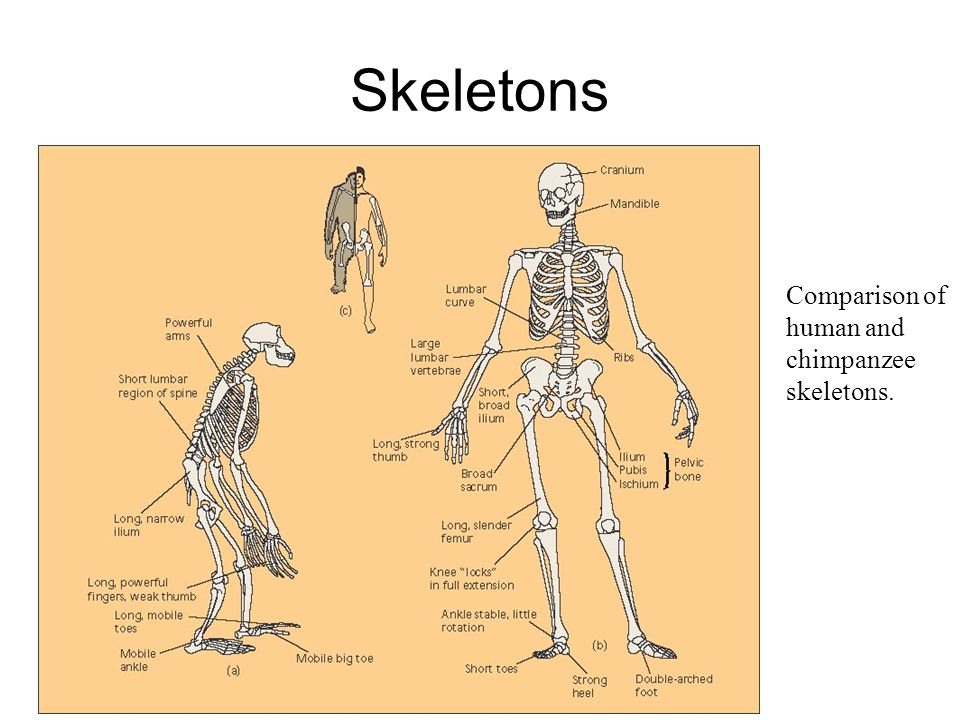 Skeletons Comparison of human and chimpanzee skeletons.