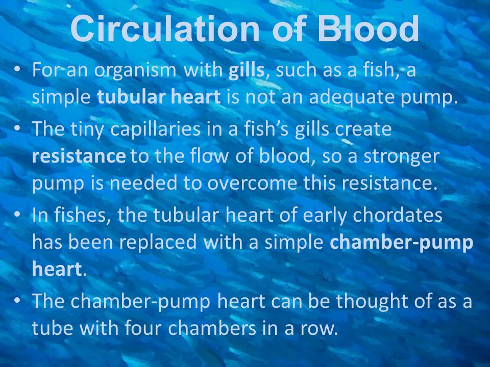 Circulation of Blood For an organism with gills, such as a fish, a simple tubular heart is not an adequate pump. The tiny capillaries in a fish's gill