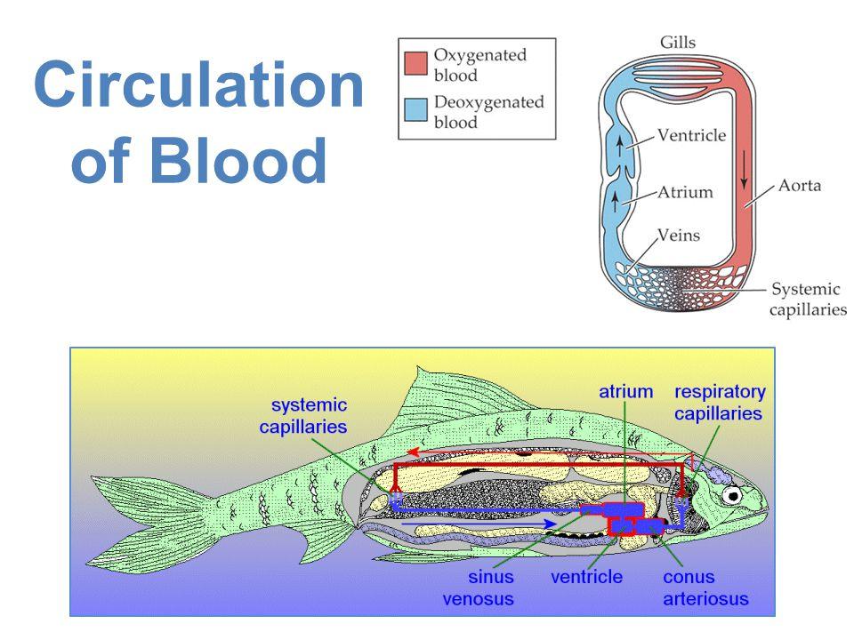 Circulation of Blood