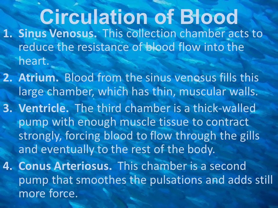 1.Sinus Venosus. This collection chamber acts to reduce the resistance of blood flow into the heart. 2.Atrium. Blood from the sinus venosus fills this