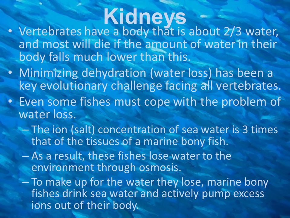 Kidneys Vertebrates have a body that is about 2/3 water, and most will die if the amount of water in their body falls much lower than this. Minimizing
