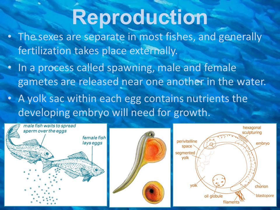 Reproduction The sexes are separate in most fishes, and generally fertilization takes place externally. In a process called spawning, male and female