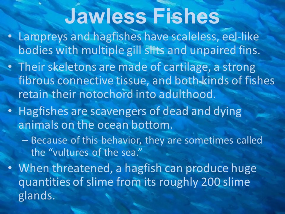 Jawless Fishes Lampreys and hagfishes have scaleless, eel-like bodies with multiple gill slits and unpaired fins. Their skeletons are made of cartilag