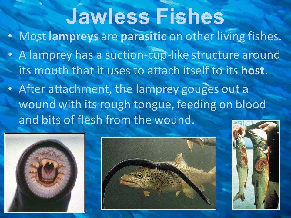 Jawless Fishes Most lampreys are parasitic on other living fishes. A lamprey has a suction-cup-like structure around its mouth that it uses to attach