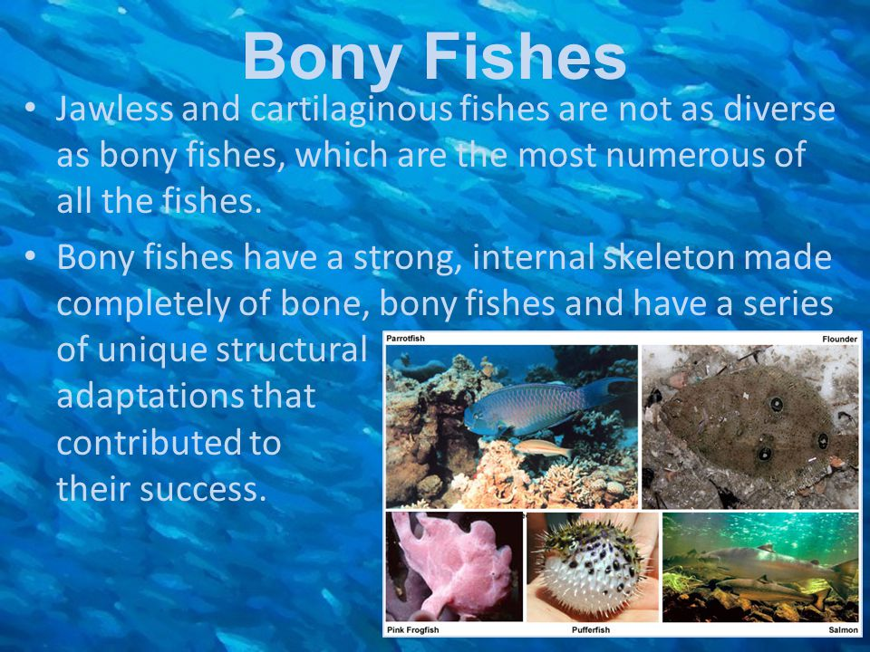 Bony Fishes Jawless and cartilaginous fishes are not as diverse as bony fishes, which are the most numerous of all the fishes. Bony fishes have a stro