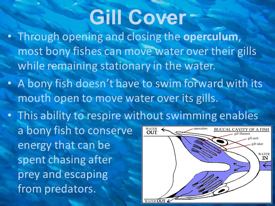Gill Cover Through opening and closing the operculum, most bony fishes can move water over their gills while remaining stationary in the water. A bony