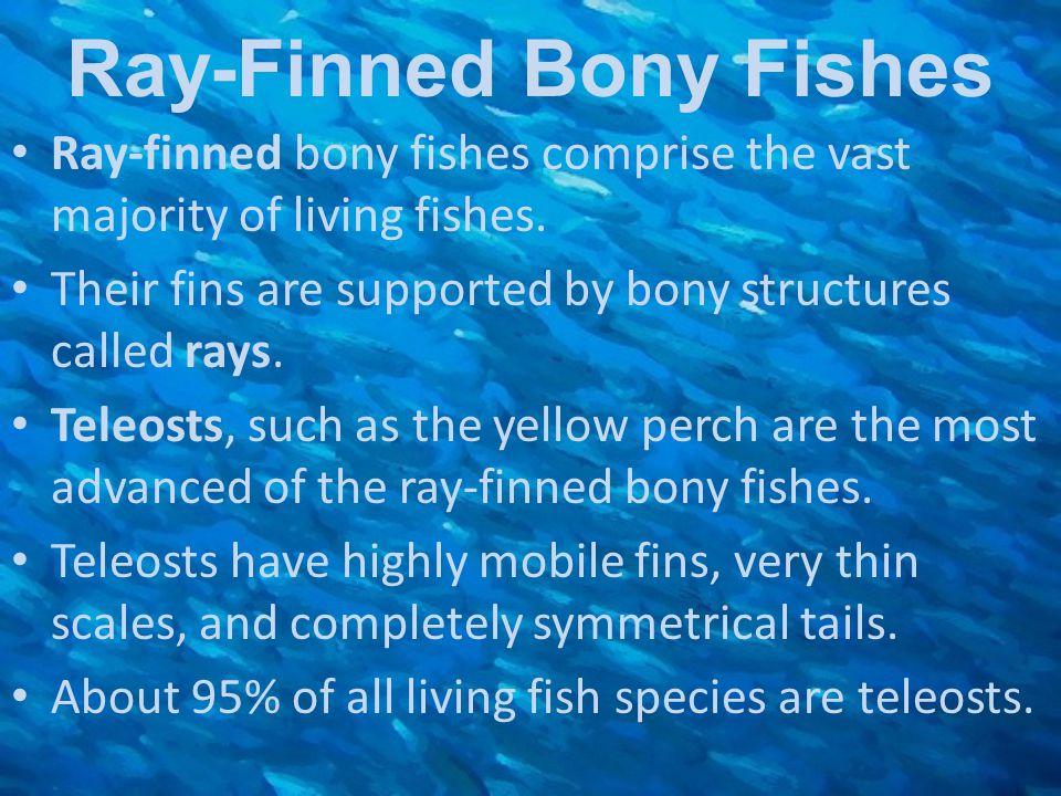 Ray-Finned Bony Fishes Ray-finned bony fishes comprise the vast majority of living fishes. Their fins are supported by bony structures called rays. Te