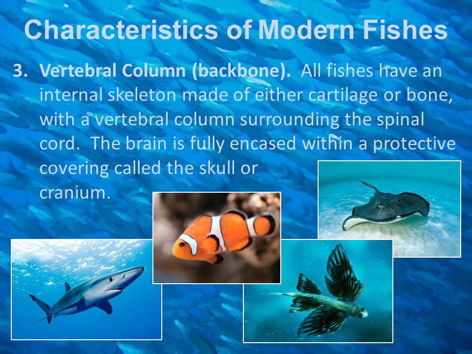 Characteristics of Modern Fishes 3.Vertebral Column (backbone). All fishes have an internal skeleton made of either cartilage or bone, with a vertebra