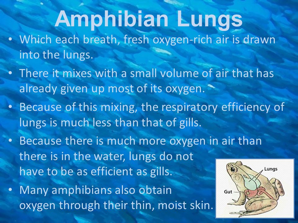 Amphibian Lungs Which each breath, fresh oxygen-rich air is drawn into the lungs. There it mixes with a small volume of air that has already given up