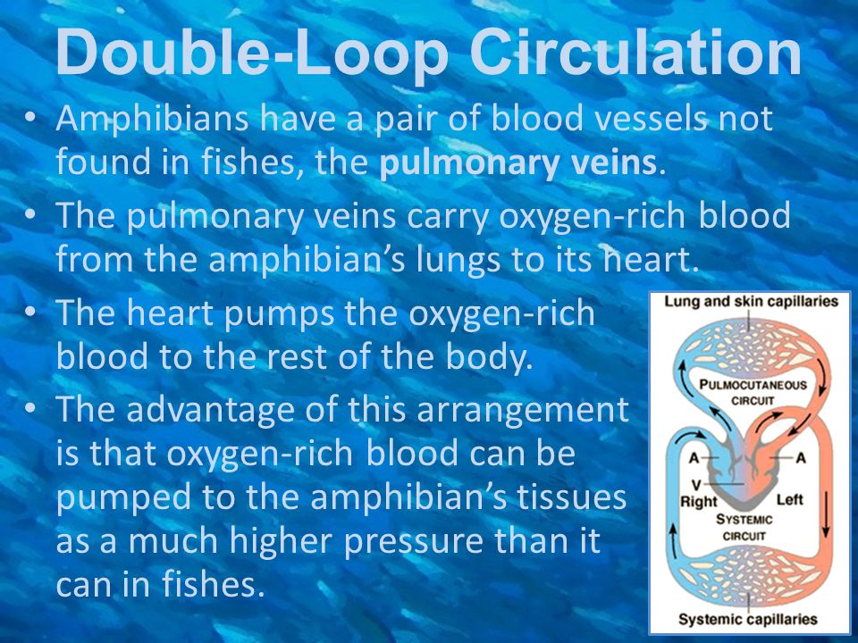 Double-Loop Circulation Amphibians have a pair of blood vessels not found in fishes, the pulmonary veins. The pulmonary veins carry oxygen-rich blood