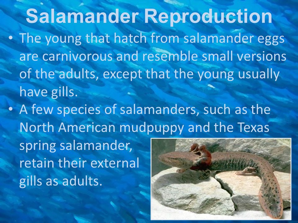 Salamander Reproduction The young that hatch from salamander eggs are carnivorous and resemble small versions of the adults, except that the young usu