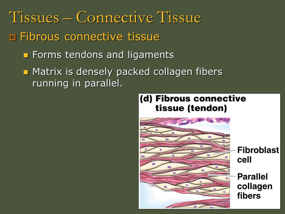 Tissues – Connective Tissue  Fibrous connective tissue Forms tendons and ligaments Forms tendons and ligaments Matrix is densely packed collagen fibe