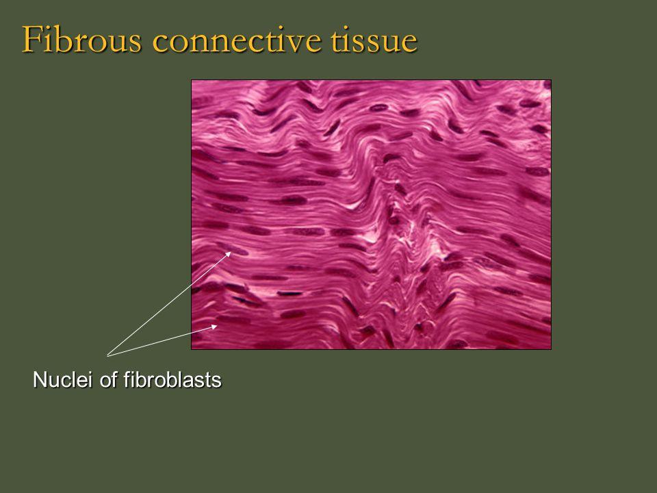 Fibrous connective tissue Nuclei of fibroblasts