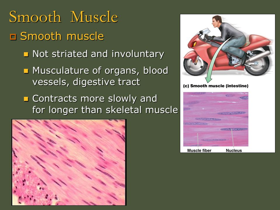 Smooth Muscle  Smooth muscle Not striated and involuntary Not striated and involuntary Musculature of organs, blood vessels, digestive tract Musculat