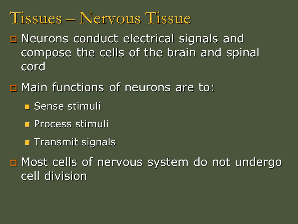 Tissues – Nervous Tissue  Neurons conduct electrical signals and compose the cells of the brain and spinal cord  Main functions of neurons are to: S