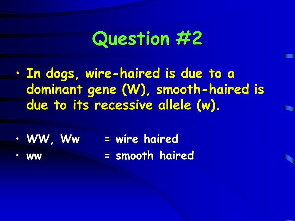 Question #2 In dogs, wire-haired is due to a dominant gene (W), smooth-haired is due to its recessive allele (w).In dogs, wire-haired is due to a domi