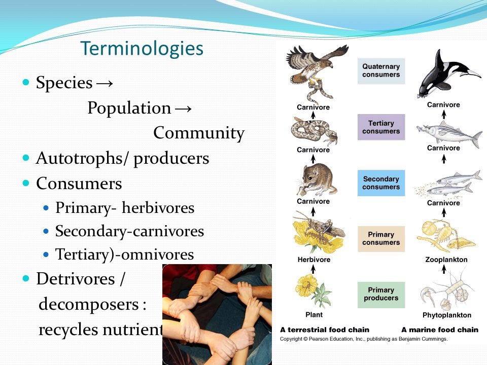 Terminologies Species → Population → Community Autotrophs/ producers Consumers Primary- herbivores Secondary-carnivores Tertiary)-omnivores Detrivores / decomposers : recycles nutrients