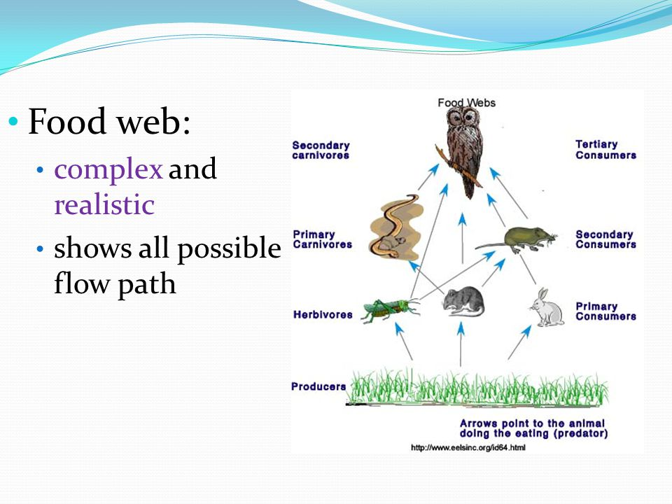 Food web: complex and realistic shows all possible flow path